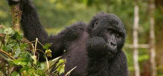 5 Days Congo Primates Safari