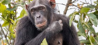 Facts about Chimpanzees in Rwanda