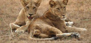 Lion Tracking in Queen Elizabeth National Park