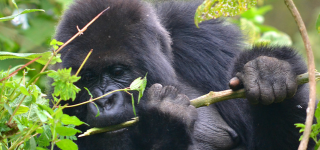 Gorilla trekking Safaris in Volcanoes National Park