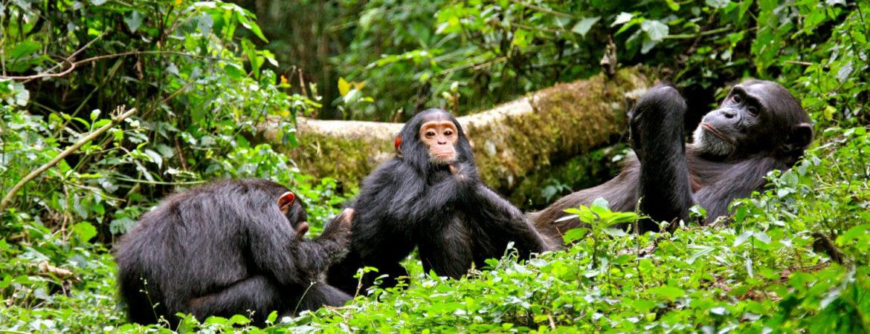 Facts about Chimpanzees in Rwanda