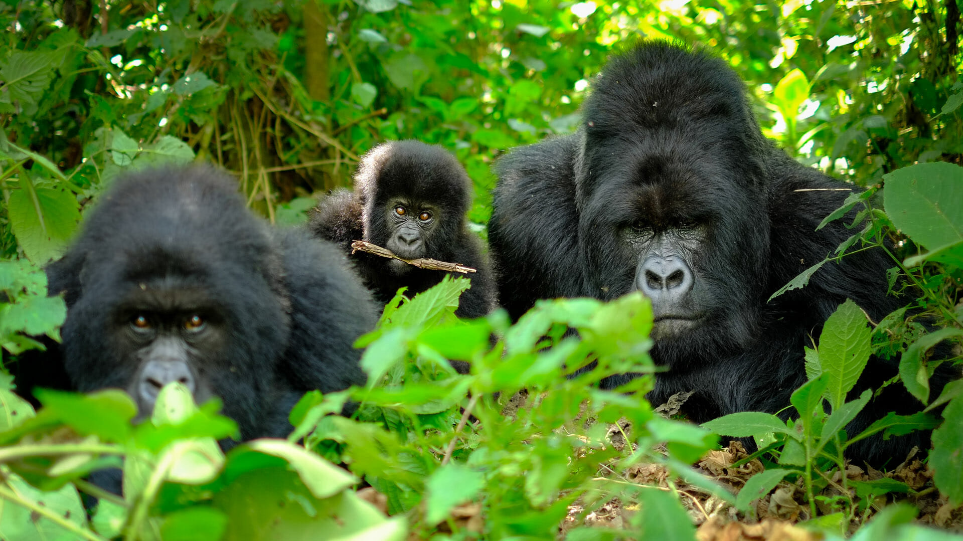 What to do and See in Volcanoes National Park Rwanda